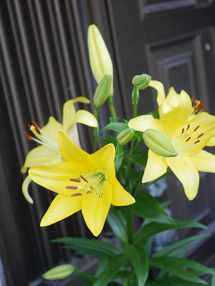 黄色のユリの花がたくさん咲いた。2020年-023.jpg