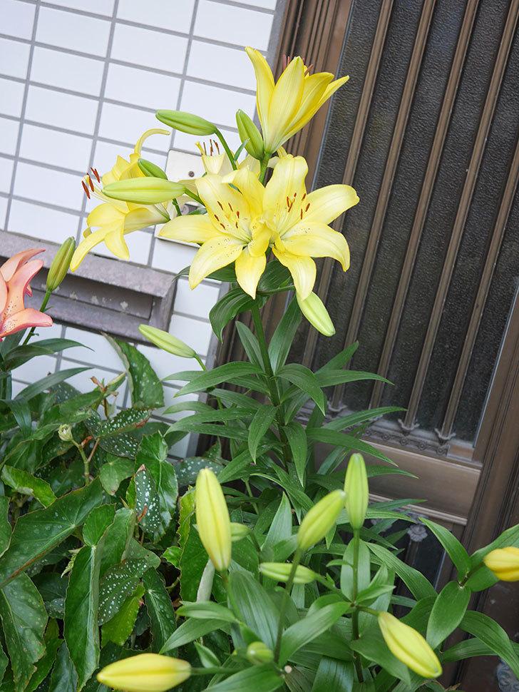 黄色のユリの花がたくさん咲いた。2020年-025.jpg