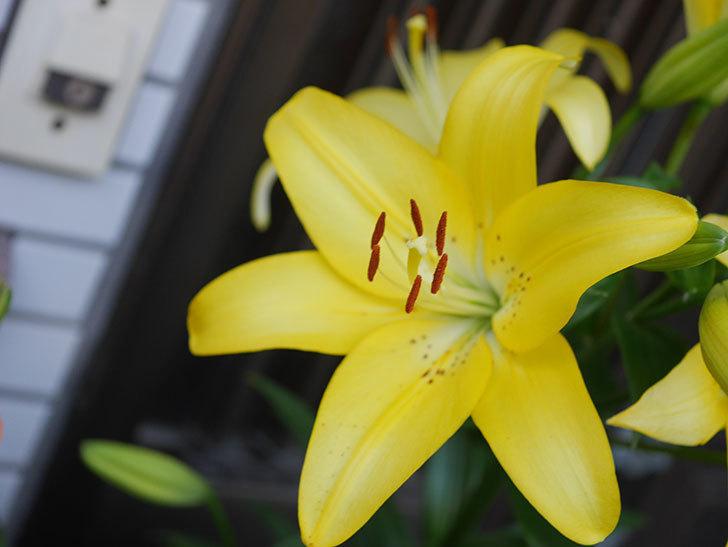 黄色のユリの花がたくさん咲いた。2020年-027.jpg