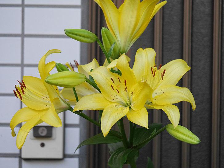 黄色のユリの花がたくさん咲いた。2020年-030.jpg