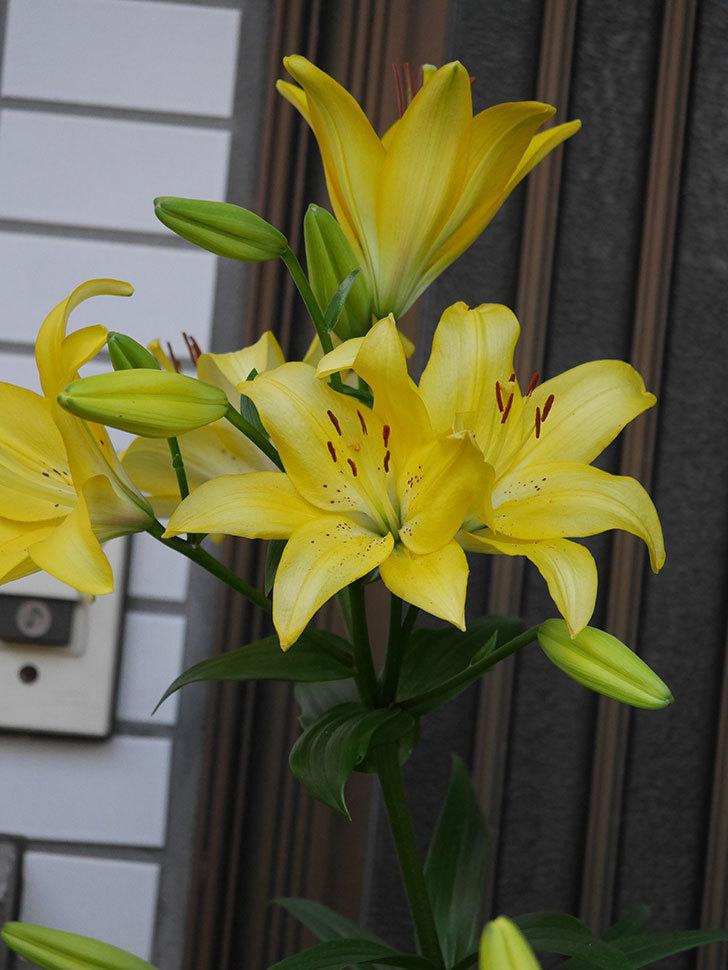 黄色のユリの花がたくさん咲いた。2020年-031.jpg
