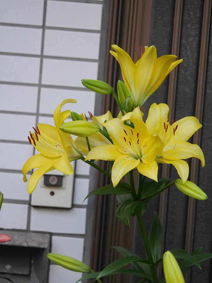 黄色のユリの花がたくさん咲いた。2020年-032.jpg