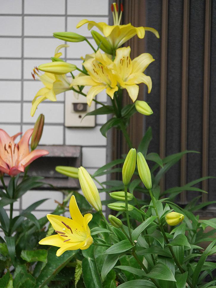 黄色のユリの花がたくさん咲いた。2020年-033.jpg