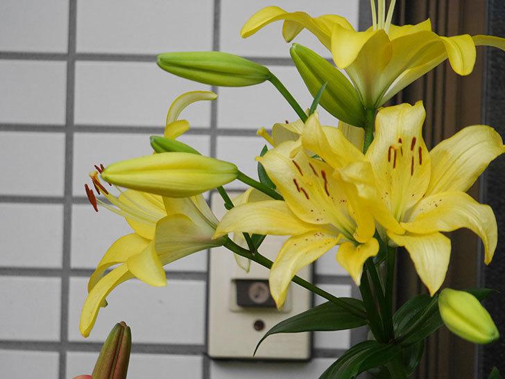 黄色のユリの花がたくさん咲いた。2020年-034.jpg