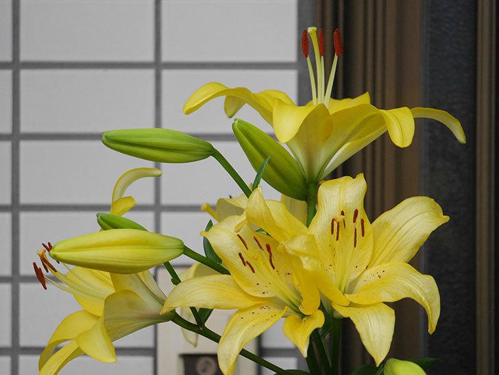 黄色のユリの花がたくさん咲いた。2020年-035.jpg