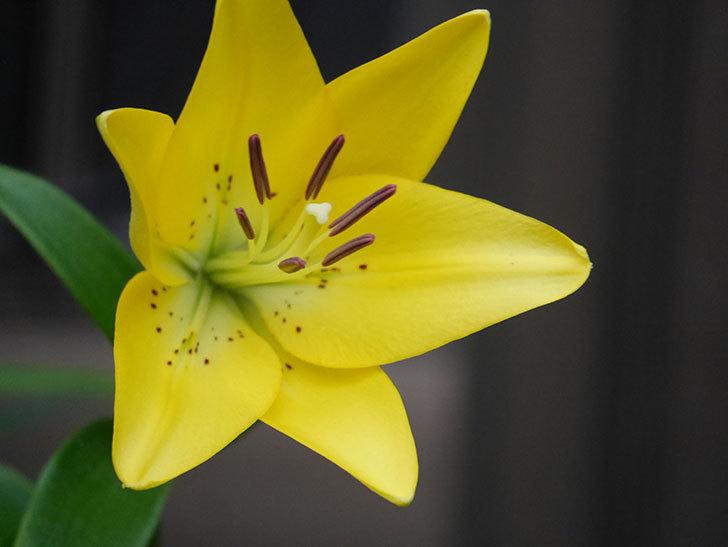 黄色のユリの花がたくさん咲いた。2020年-038.jpg