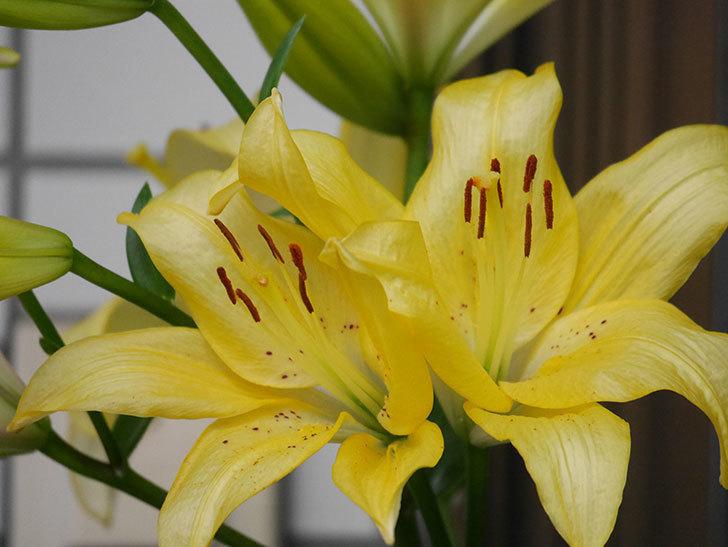黄色のユリの花がたくさん咲いた。2020年-039.jpg