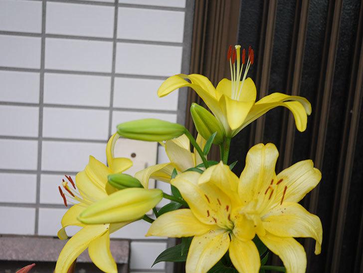 黄色のユリの花がたくさん咲いた。2020年-043.jpg
