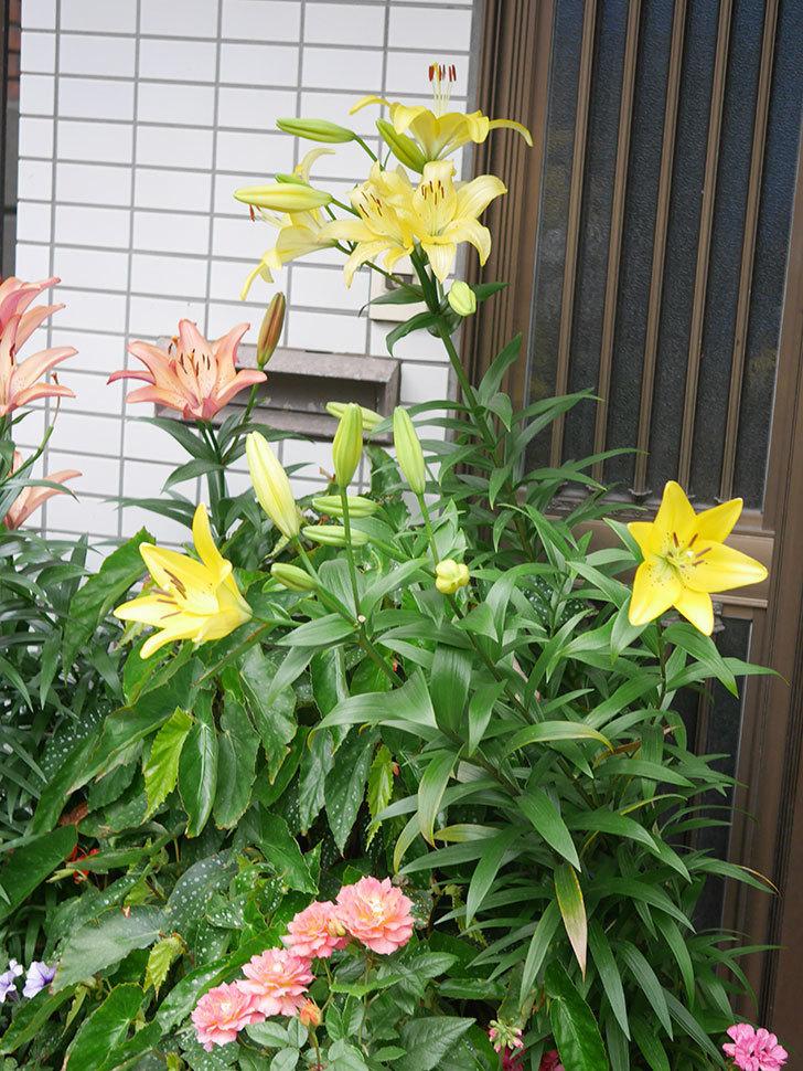 黄色のユリの花がたくさん咲いた。2020年-044.jpg