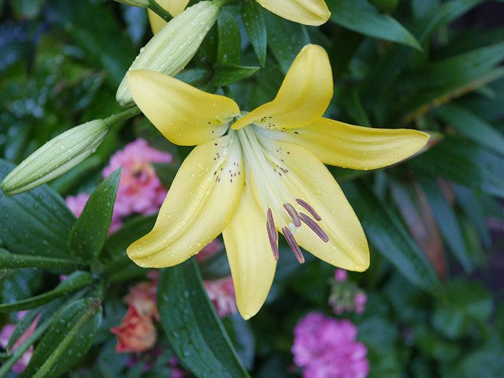 黄色のユリの花がたくさん咲いた。2020年-046.jpg
