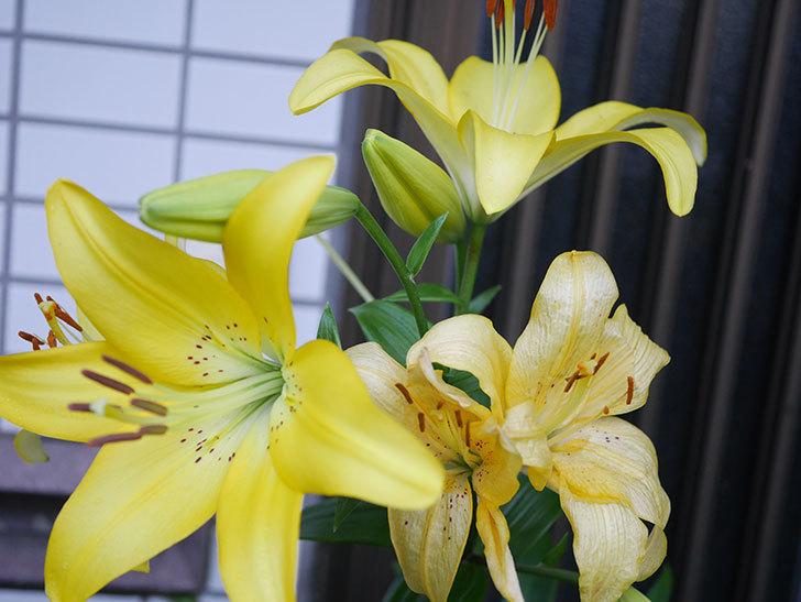 黄色のユリの花がたくさん咲いた。2020年-049.jpg