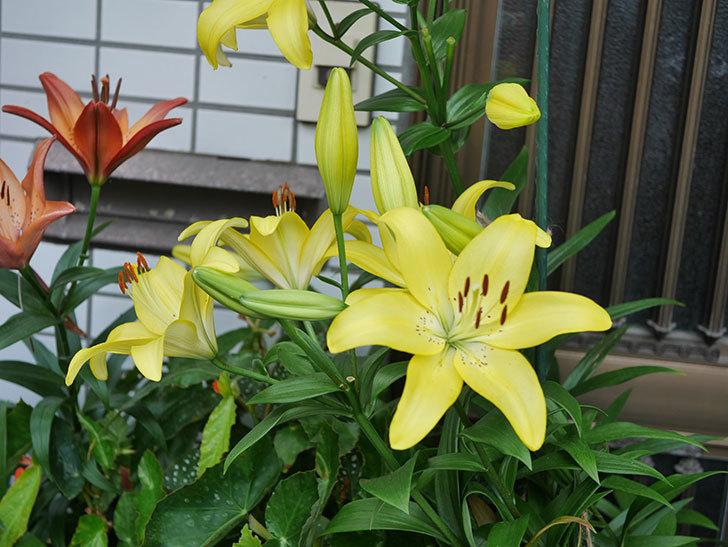 黄色のユリの花がたくさん咲いた。2020年-050.jpg
