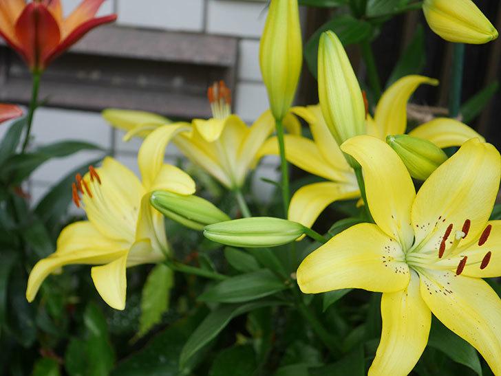 黄色のユリの花がたくさん咲いた。2020年-052.jpg