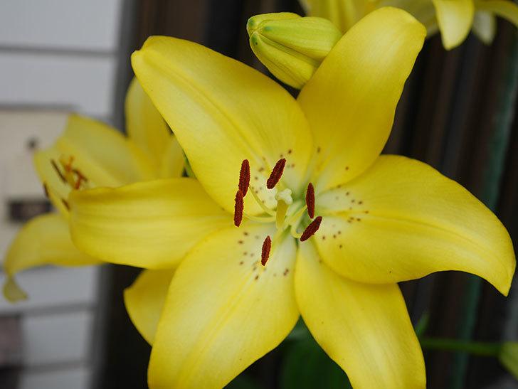 黄色のユリの花がたくさん咲いた。2020年-054.jpg