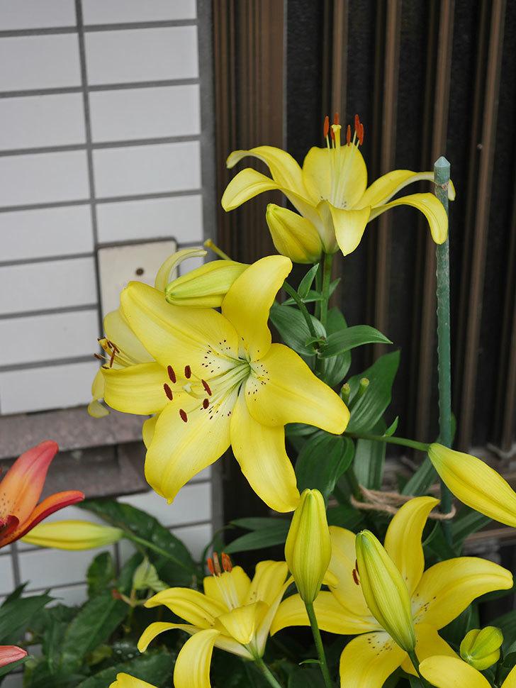黄色のユリの花がたくさん咲いた。2020年-055.jpg