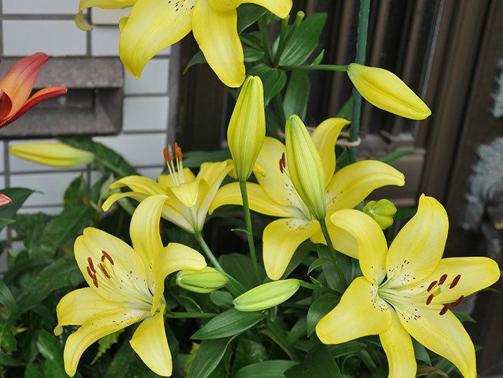 黄色のユリの花がたくさん咲いた。2020年-056.jpg