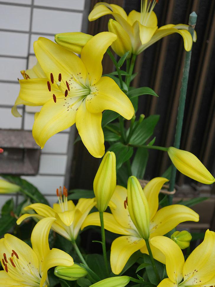 黄色のユリの花がたくさん咲いた。2020年-057.jpg