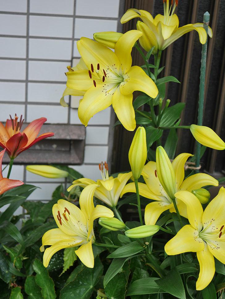 黄色のユリの花がたくさん咲いた。2020年-058.jpg