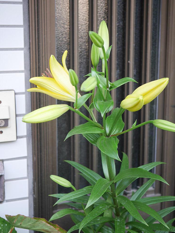 黄色のユリの花が咲きだした。2020年-001.jpg