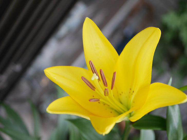 黄色のユリの花が咲きだした。2020年-002.jpg