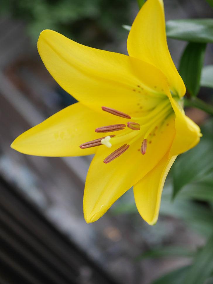 黄色のユリの花が咲きだした。2020年-003.jpg