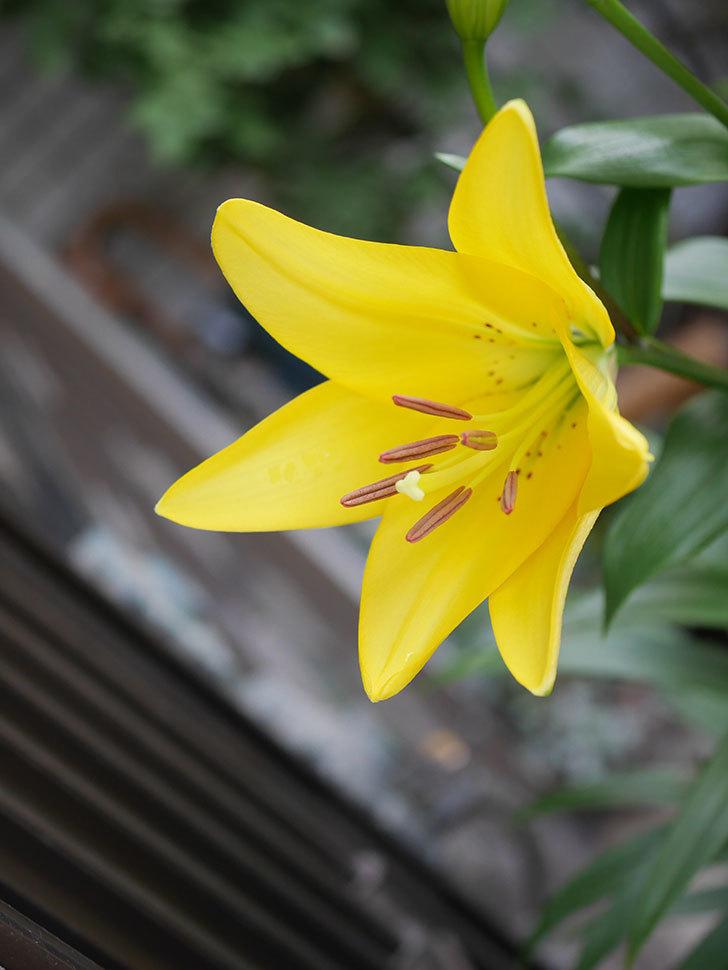 黄色のユリの花が咲きだした。2020年-005.jpg