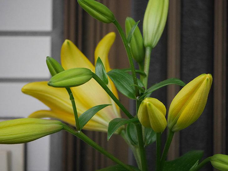 黄色のユリの花が咲きだした。2020年-006.jpg