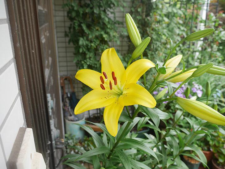 黄色のユリの花が咲きだした。2020年-007.jpg