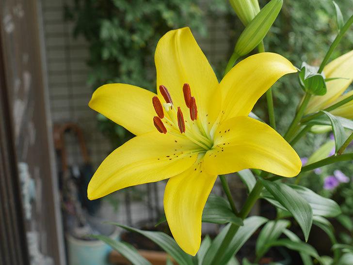 黄色のユリの花が咲きだした。2020年-009.jpg