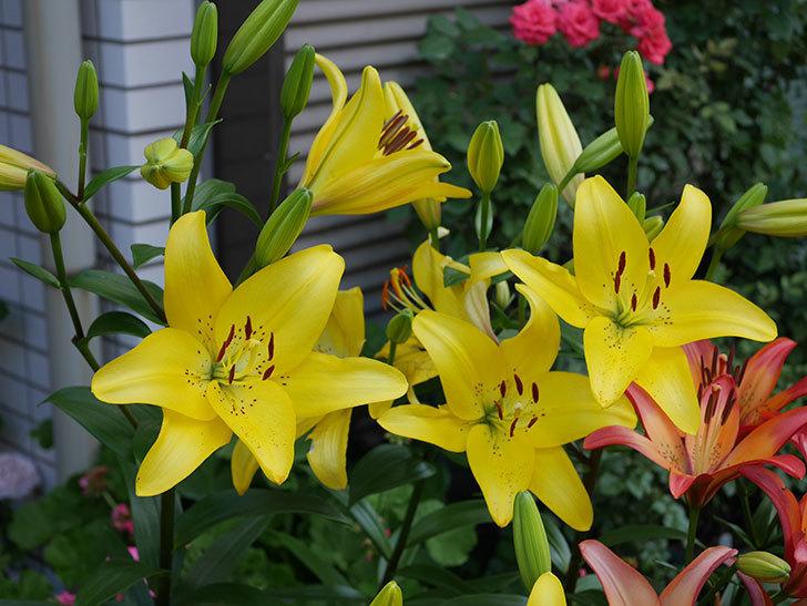 黄色のユリの花が増えて来た。2019年-1.jpg