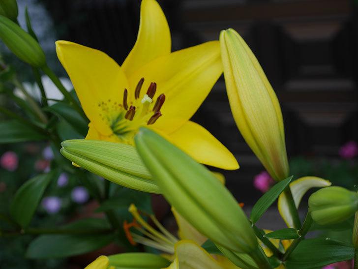 黄色のユリの花が増えて来た。2019年-15.jpg