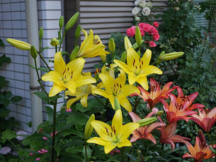 黄色のユリの花が増えて来た。2019年-4.jpg