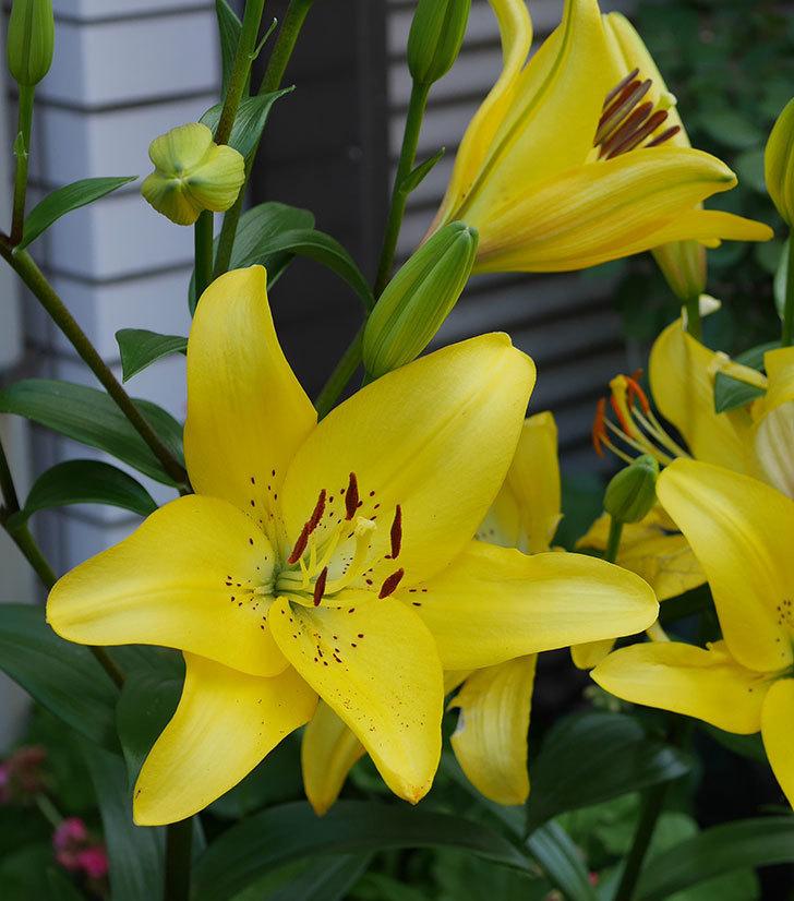 黄色のユリの花が増えて来た。2019年-7.jpg