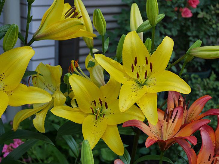 黄色のユリの花が増えて来た。2019年-9.jpg