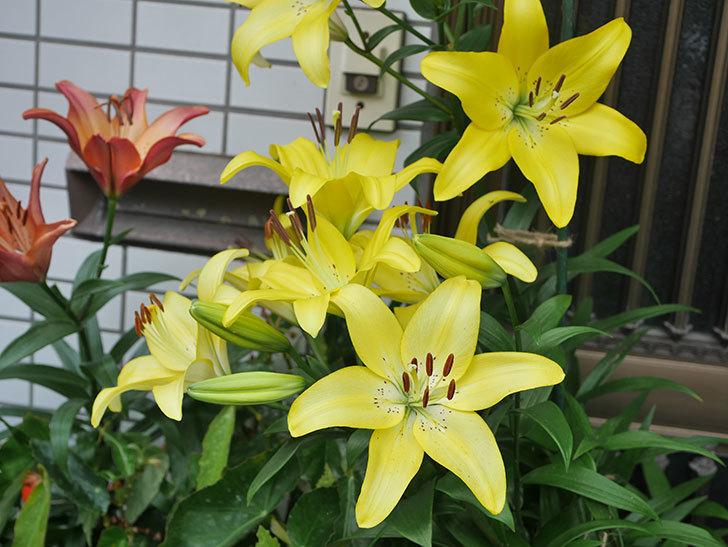 黄色のユリの花が良い感じなった。2020年-001.jpg