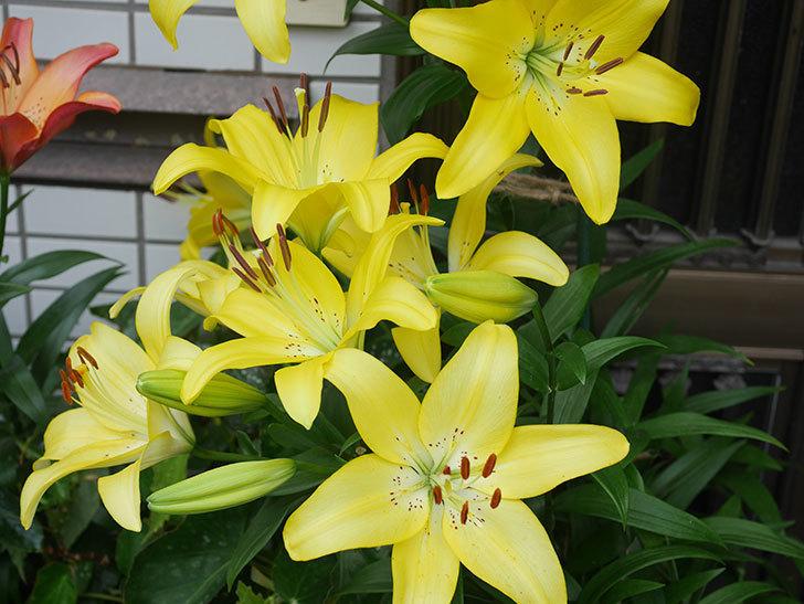 黄色のユリの花が良い感じなった。2020年-002.jpg