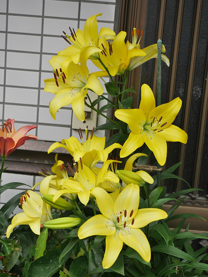 黄色のユリの花が良い感じなった。2020年-003.jpg