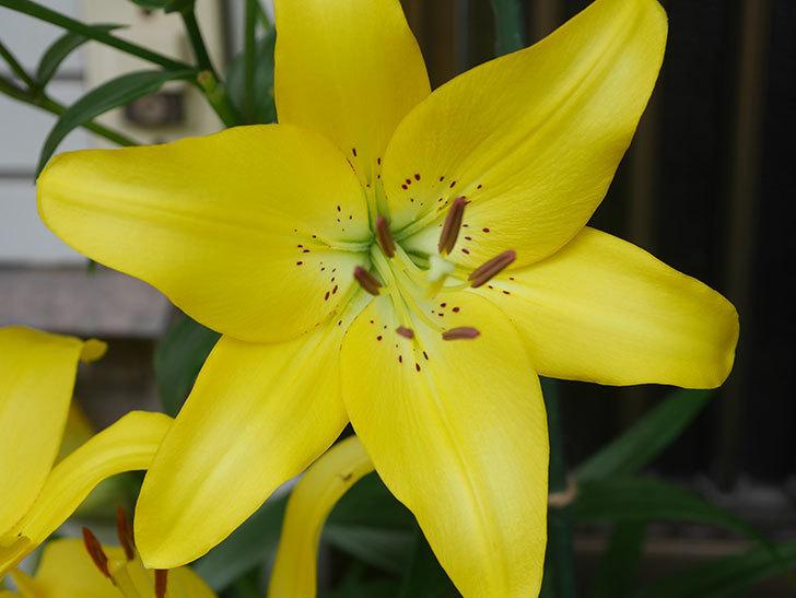 黄色のユリの花が良い感じなった。2020年-004.jpg