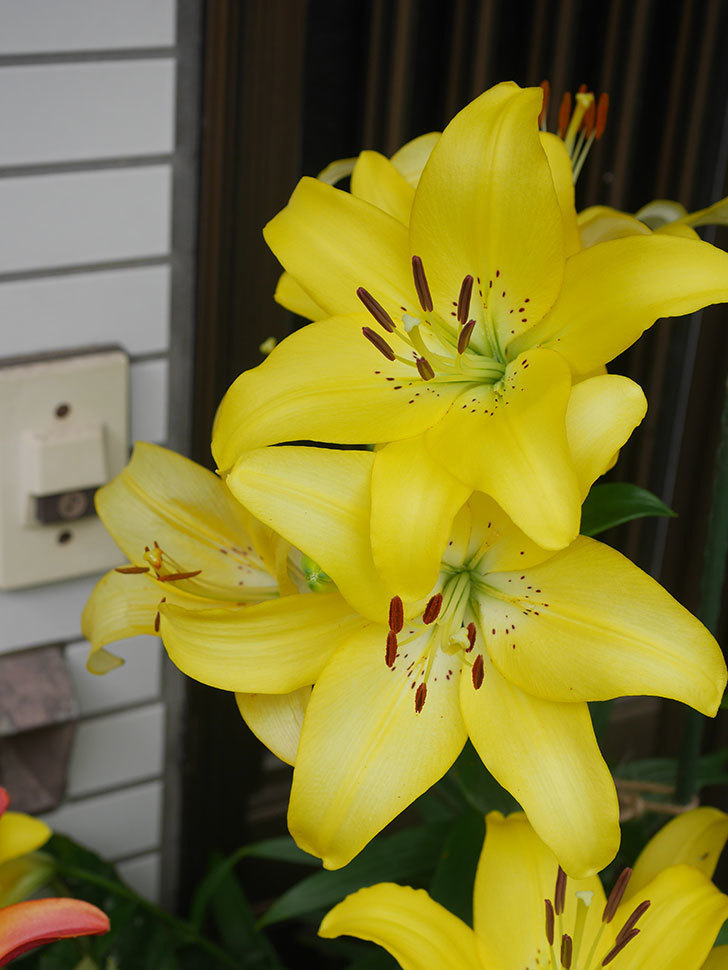 黄色のユリの花が良い感じなった。2020年-008.jpg