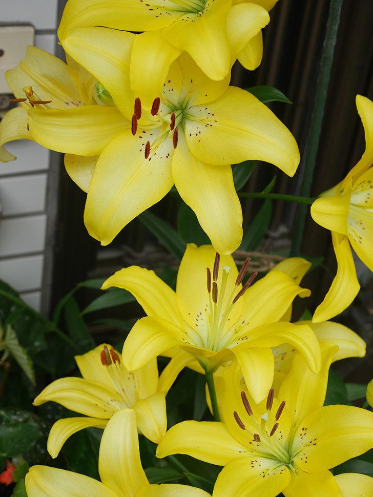 黄色のユリの花が良い感じなった。2020年-009.jpg