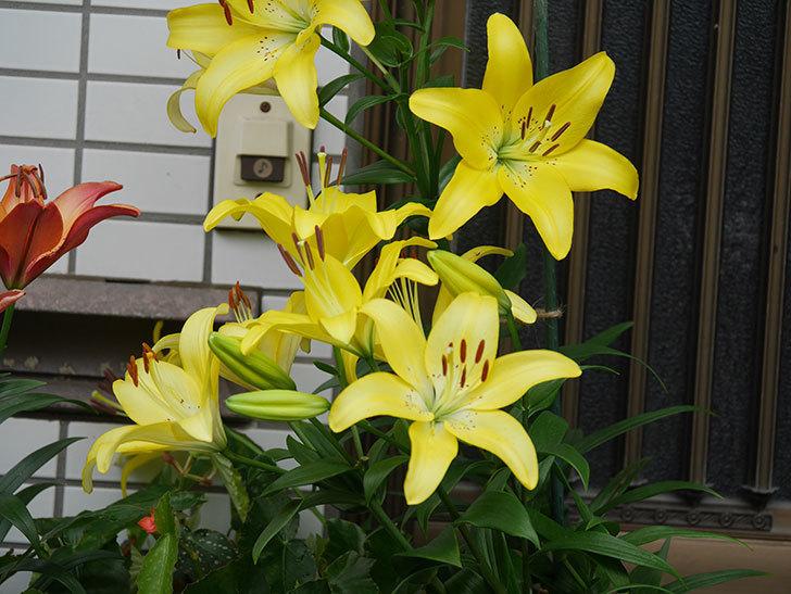 黄色のユリの花が良い感じなった。2020年-010.jpg