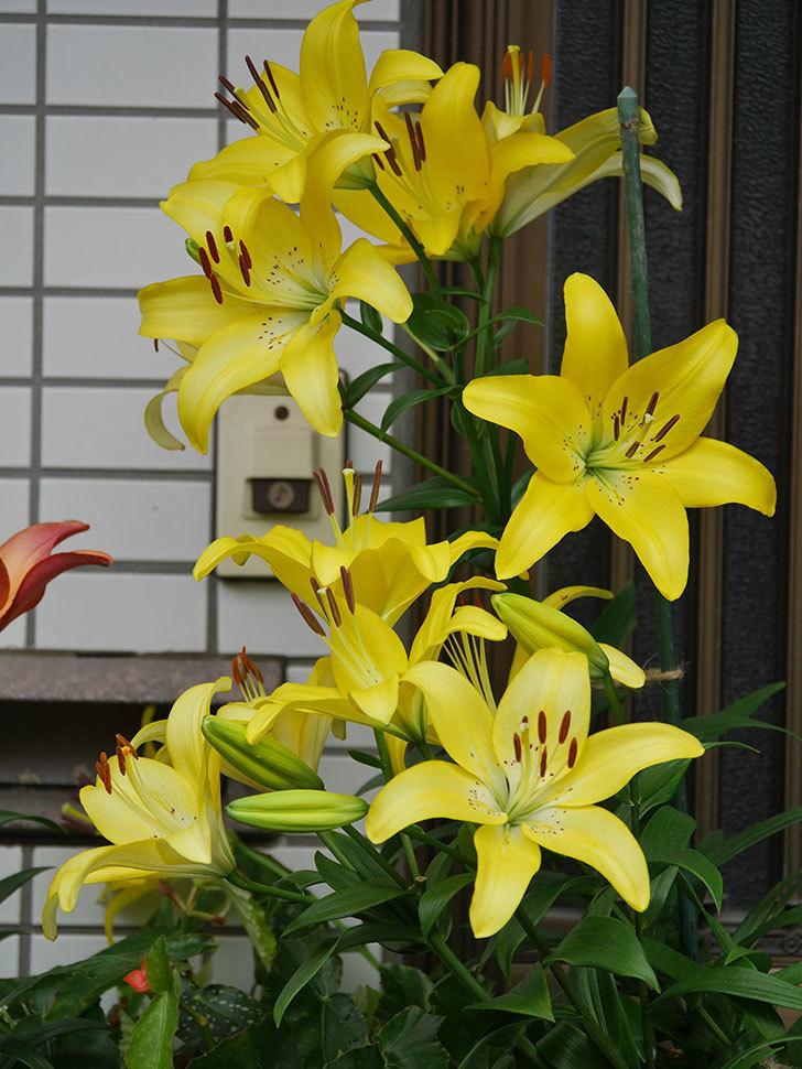黄色のユリの花が良い感じなった。2020年-012.jpg