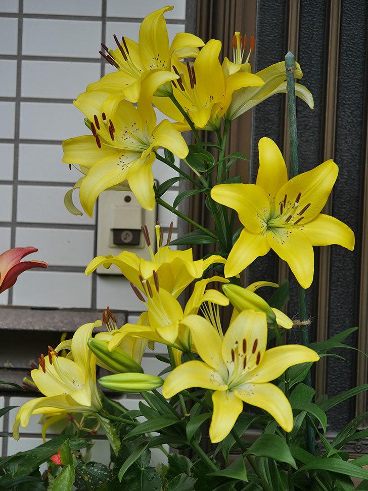 黄色のユリの花が良い感じなった。2020年-013.jpg