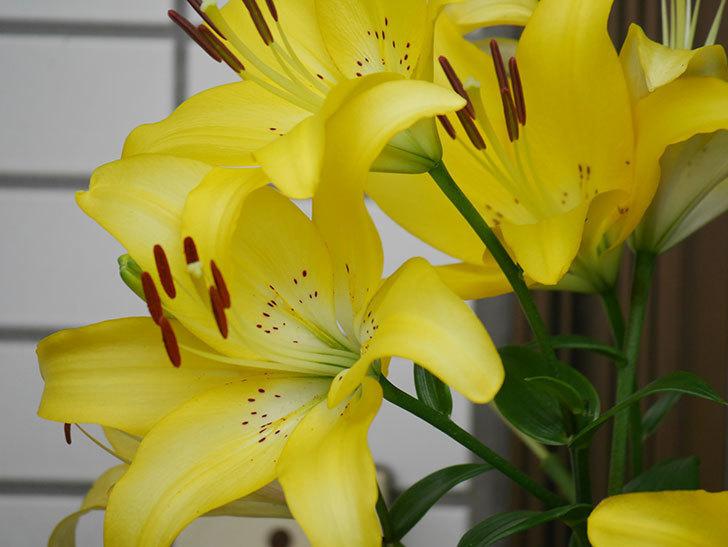 黄色のユリの花が良い感じなった。2020年-014.jpg