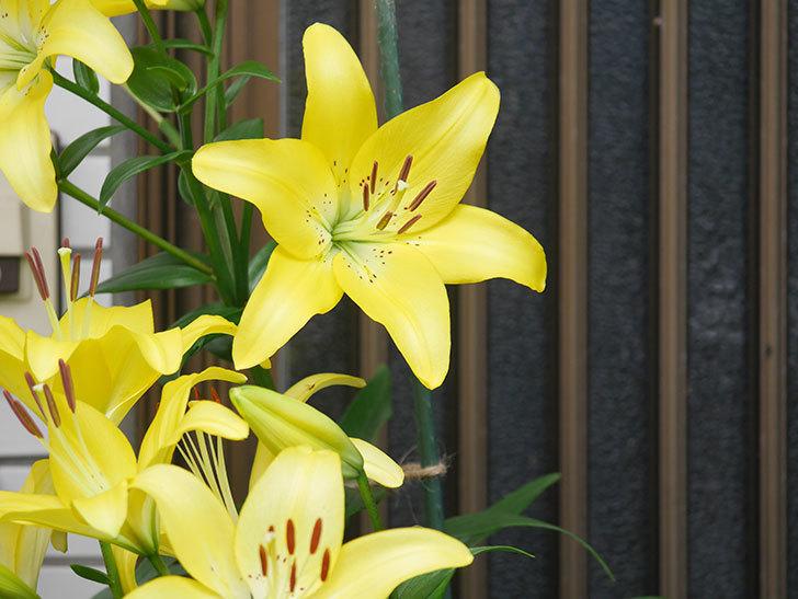 黄色のユリの花が良い感じなった。2020年-015.jpg