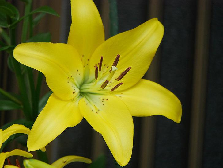 黄色のユリの花が良い感じなった。2020年-016.jpg