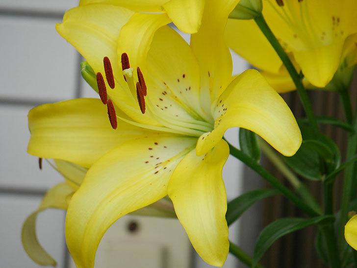 黄色のユリの花が良い感じなった。2020年-017.jpg