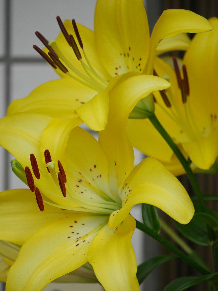 黄色のユリの花が良い感じなった。2020年-018.jpg