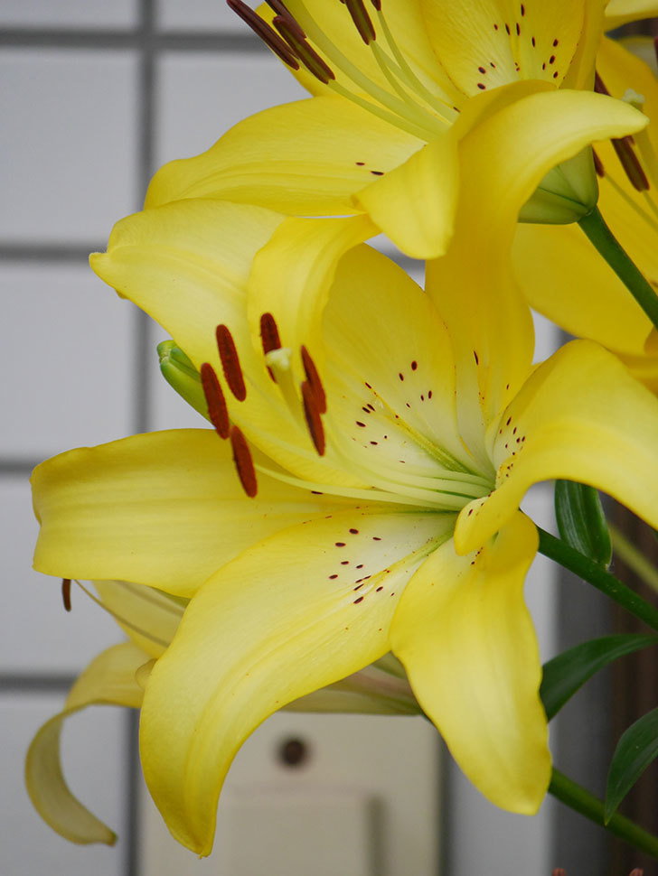 黄色のユリの花が良い感じなった。2020年-019.jpg