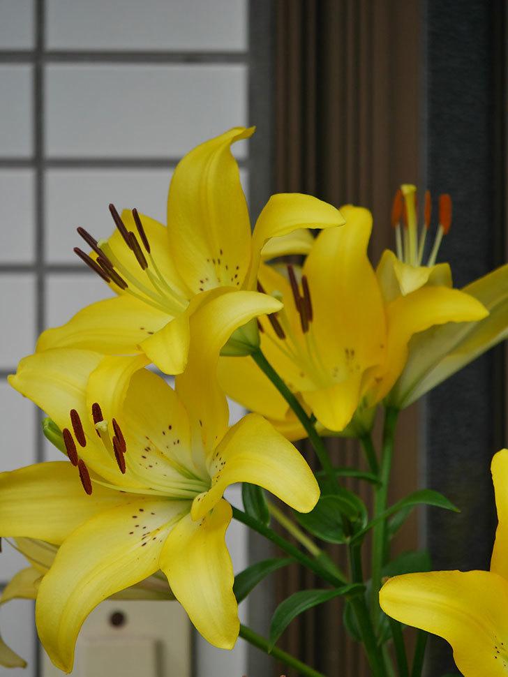 黄色のユリの花が良い感じなった。2020年-020.jpg